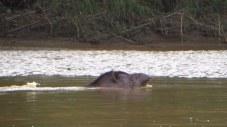 Tapir swimming in river