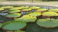 Large (2 feet in diameter plus) lotus or lily pads in Park Rajapruek, Chiang Mai.