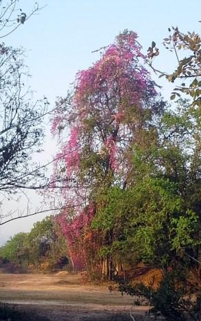A tree of purple bougainvilla