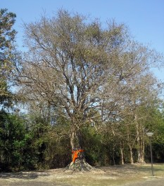 A Bodhi tree with a ribbon protecting it. The ribbon converts it into a Monk, and no-one would hurt a Monk.