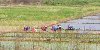 Talk about back breaking work - women planting rice in the rice nursery