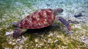 Green Sea Turtle, Trawangan, Gili Islands