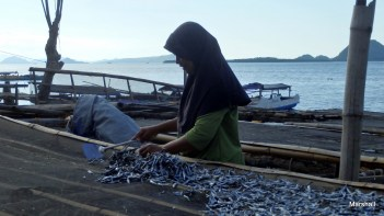 Collecting the fish after drying