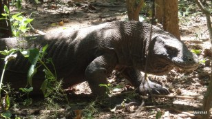 Large male komodo moving toward the smell of a dead deer