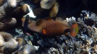 Parrot Fish, Bunaken, Manado, Sulawaisi GB