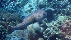 Puffer Fish?