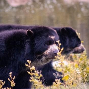 Sonnenbär / Sun Bear - Tierprints / Animal Prints