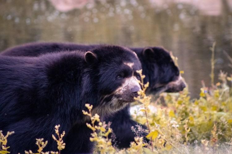 Sonnebär / Sun Bear - Tierprints / Animal Prints