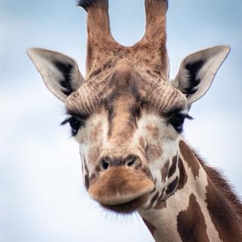 Giraffe - Tierprints / Animal Prints