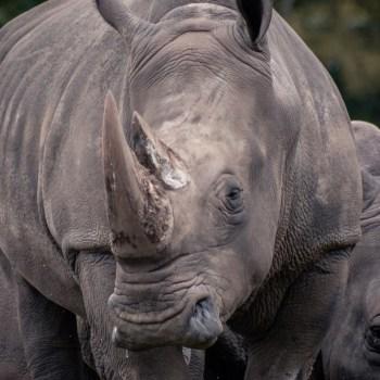 Nashorn / Rhino - Tierprints / Animal Prints