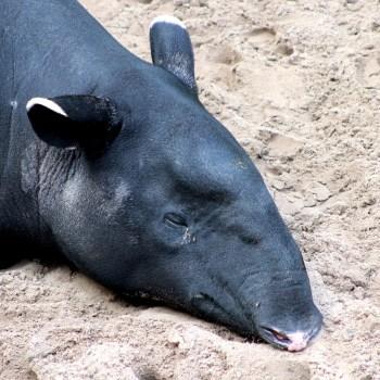 Schabrackentapir / Malayan Tapir - Tierprints / Animal Prints