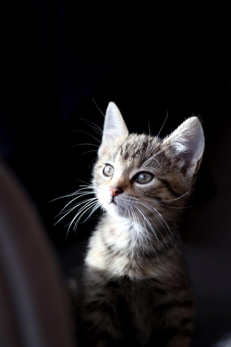 Baby Katze Mercury / Kitten Mercury - Tierprints / Animal Prints