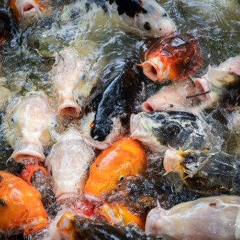 Koi Karpfen / Koi Fish - Tierprints / Animal Prints