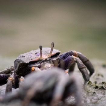 Krabbe / Crab - Tierprints / Animal Prints