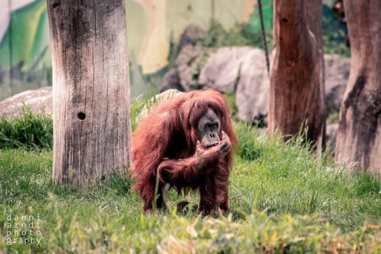 Orang-Utan - Tierprints / Animal Prints