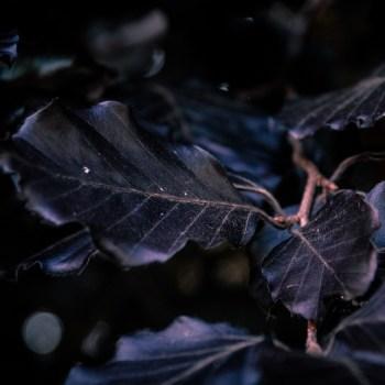 Dark Red Leaves