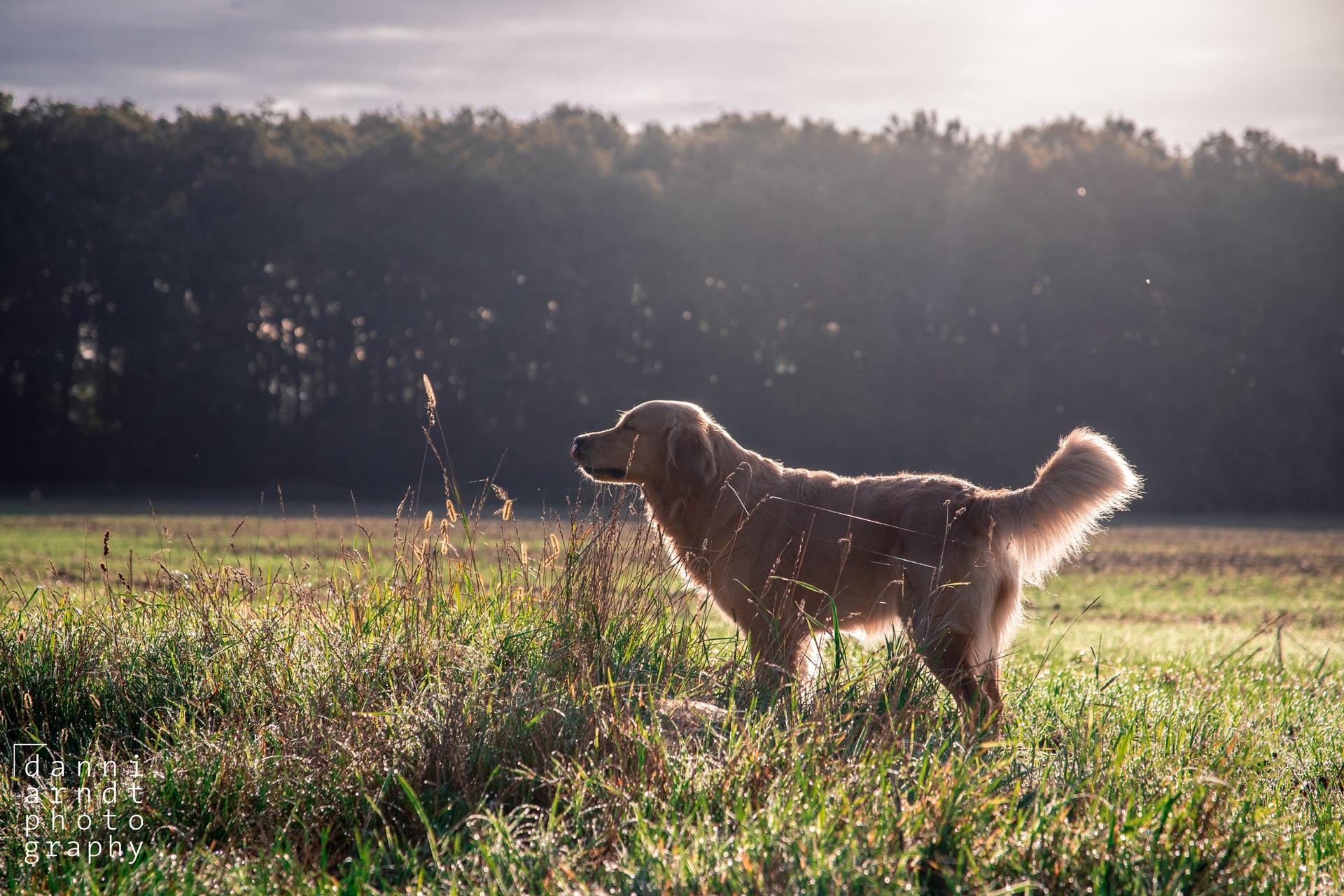 Dog, Golden Retriever, Hund, Hundefotos