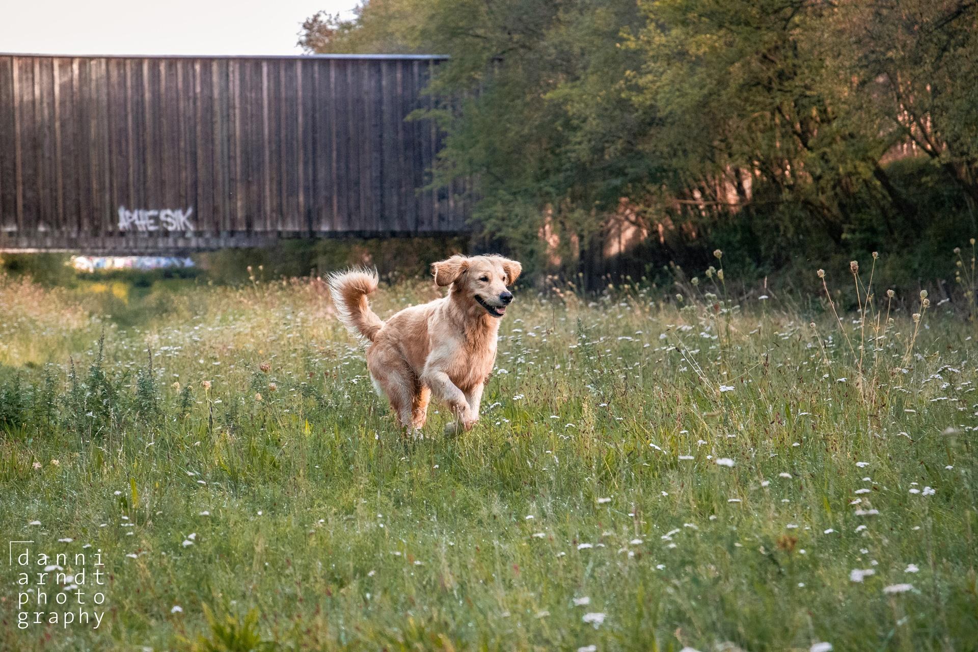 Golden Retriever running playing