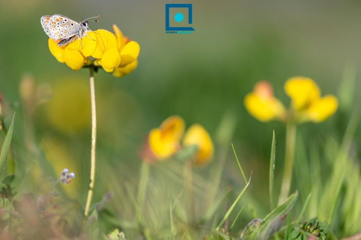 Bruin Blauwtje (Aricia agestis) op Rolklaver (Lotus corniculatus).