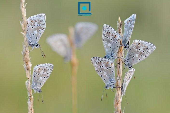Groep van slapende Bleke Blauwtjes (Lysandra coridon )