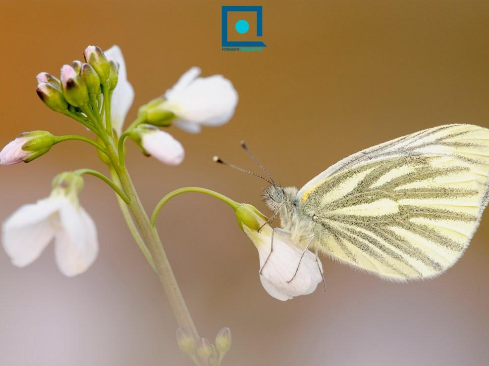 Het Klein Geaderd Witje (Pieris napi), een heel algemene dagvlinder, op Pinksterbloem (Cardamine pratensis). Hij heeft een prachtige vleugeladering!