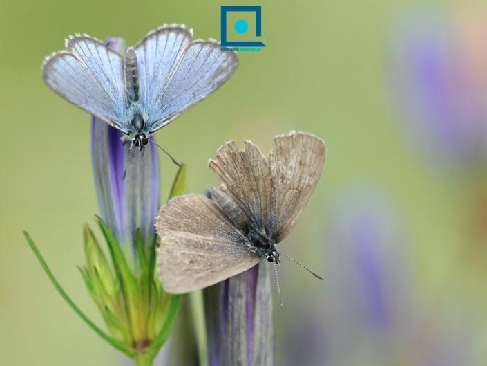 Mannetje en vrouwtje van het zeldzame Gentiaanblauwtje (Phengaris alcon), zonnend op Klokjesgentiaan (Gentiana pneumonanthe) de bloem waarop ze hun eitjes afzetten.