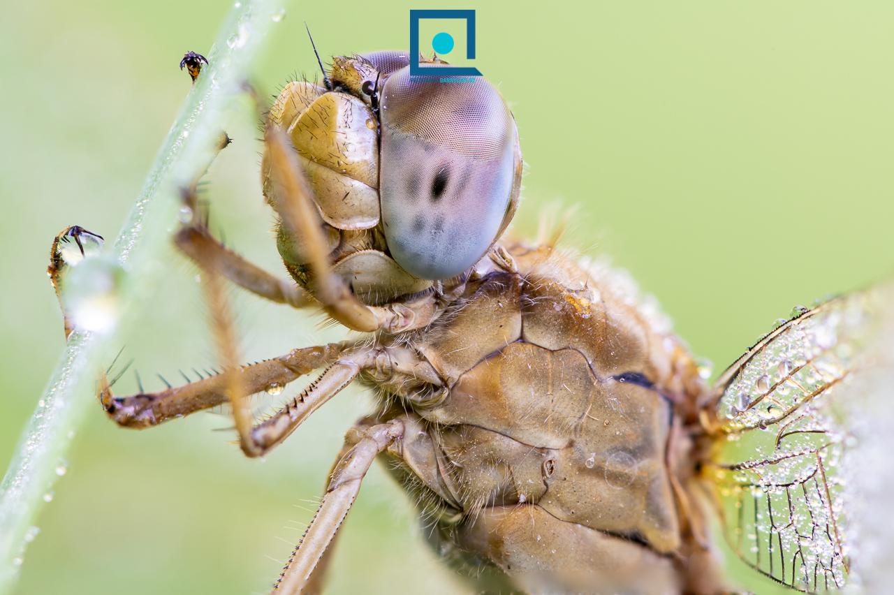 Vuurlibel, Crocothemis erythraea, vrouwtje, close-up van de ogen, extreme macro. Stack van 10 foto's.