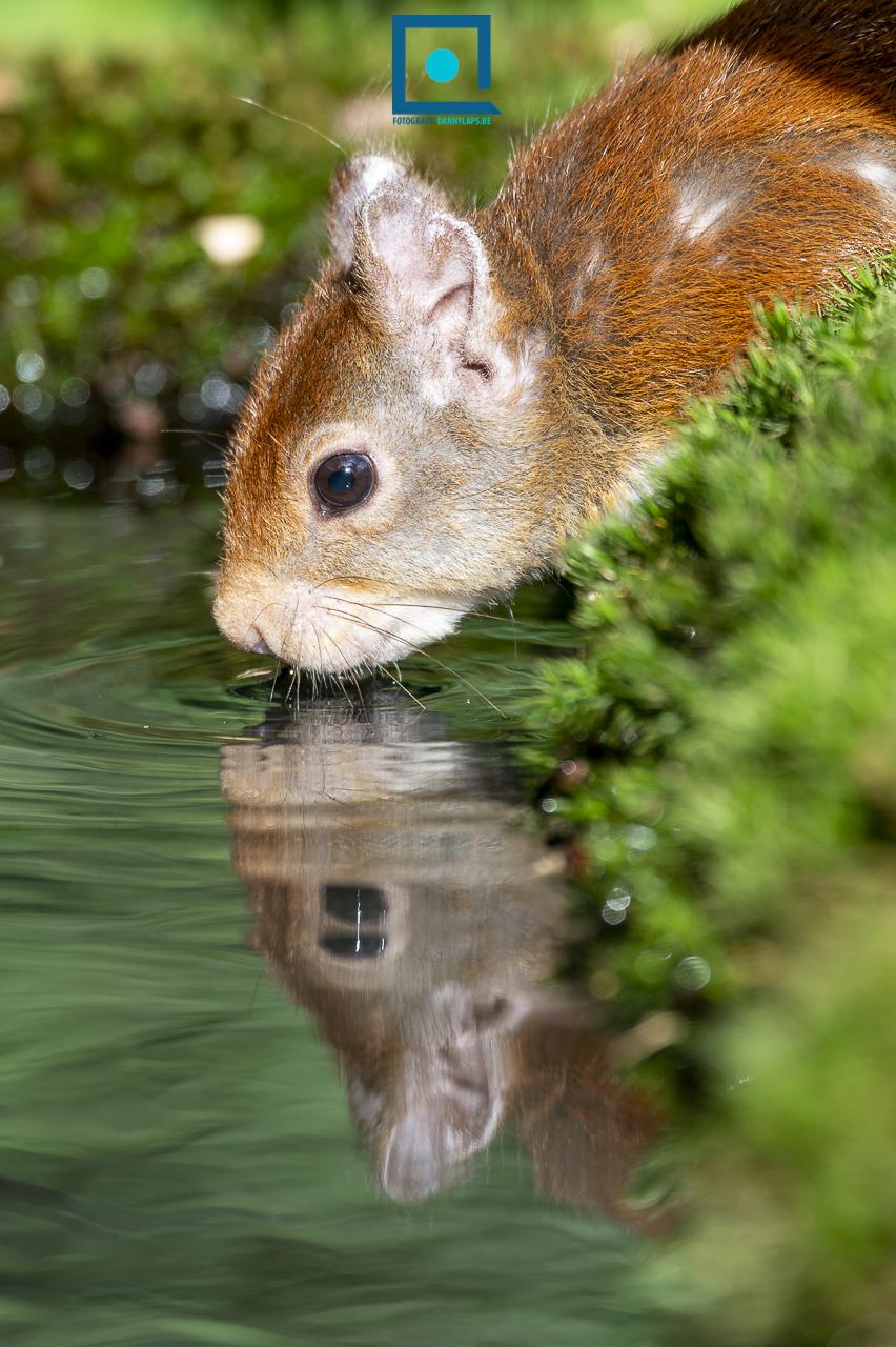 Drinkende eekhoorn (Sciurus vulgaris) met reflectie in het water.