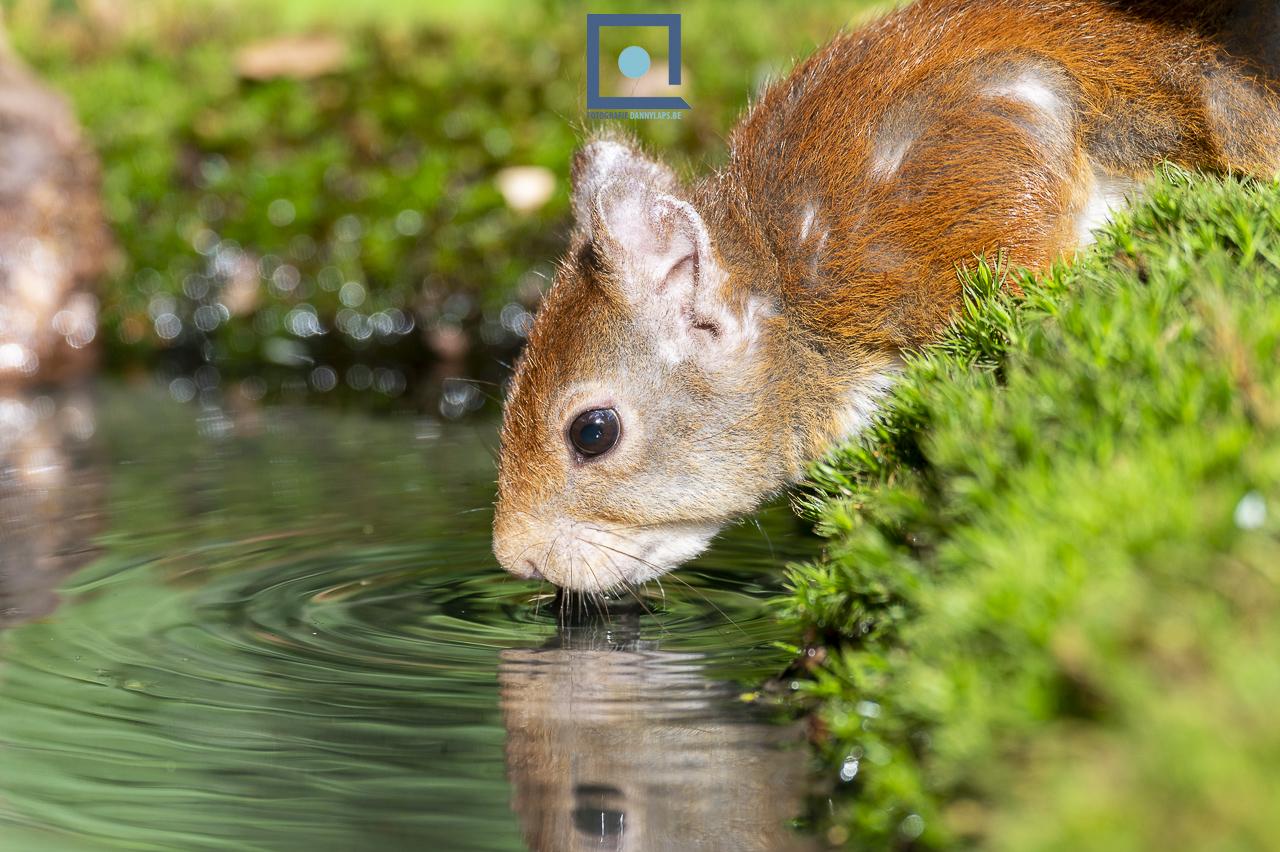 Eekhoorn (Sciurus vulgaris) drinkt met weerspiegeling in het water.