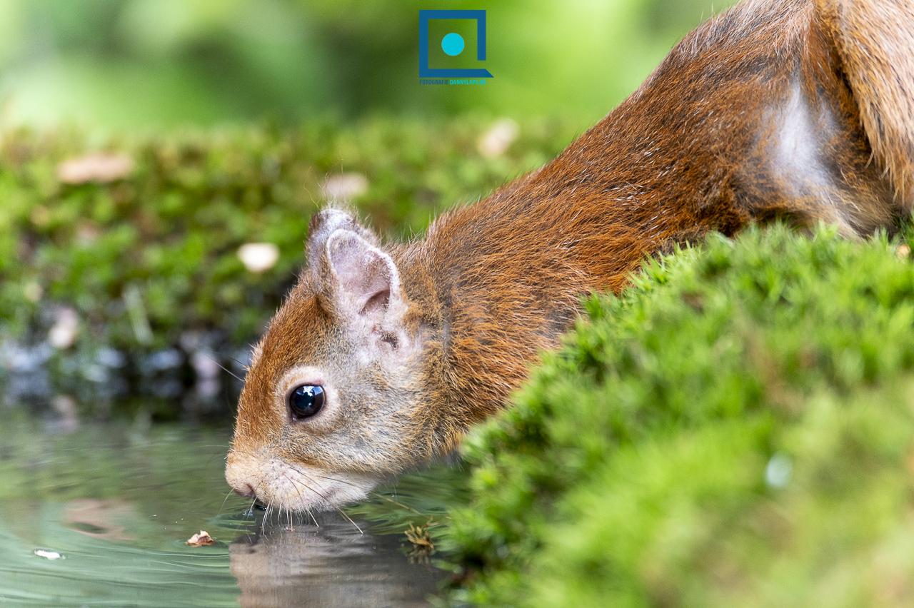Mevrouw de eekhoorn (Sciurus vulgaris) drinkt.