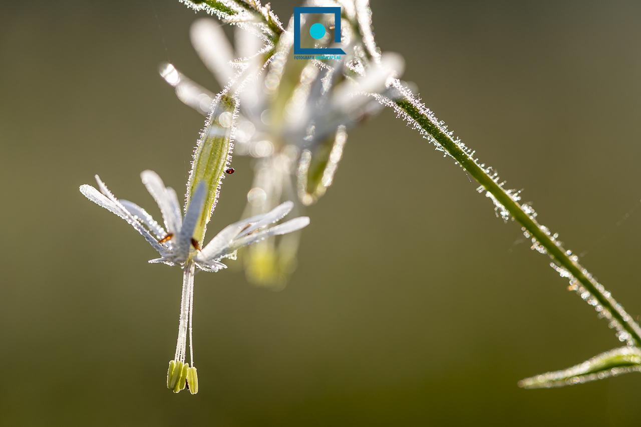 Duinflora: nachtsilene (Silene nutans). Een bloem die 's nachts open staat en waarin nachtvlinders hun eitjes leggen.