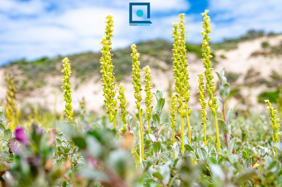 Honingorchis (Herminium monorchis), een zeldzame orchidee van de duinen.
