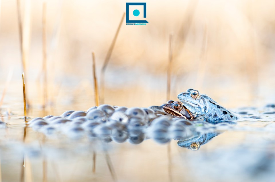 🐸 Rana arvalis, dé (prachtig blauwe) heikikker 🐸