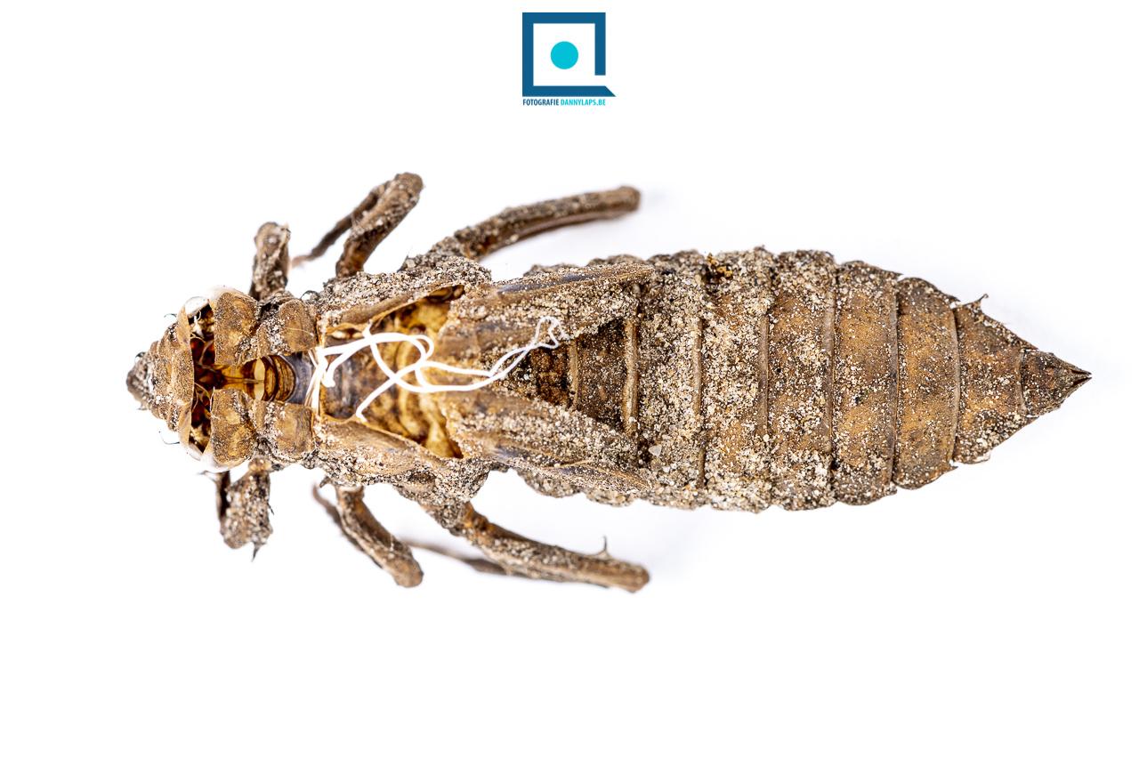 Larvenhuidje of exuvium van de Beekrombout (Gomphus vulgatissimus)