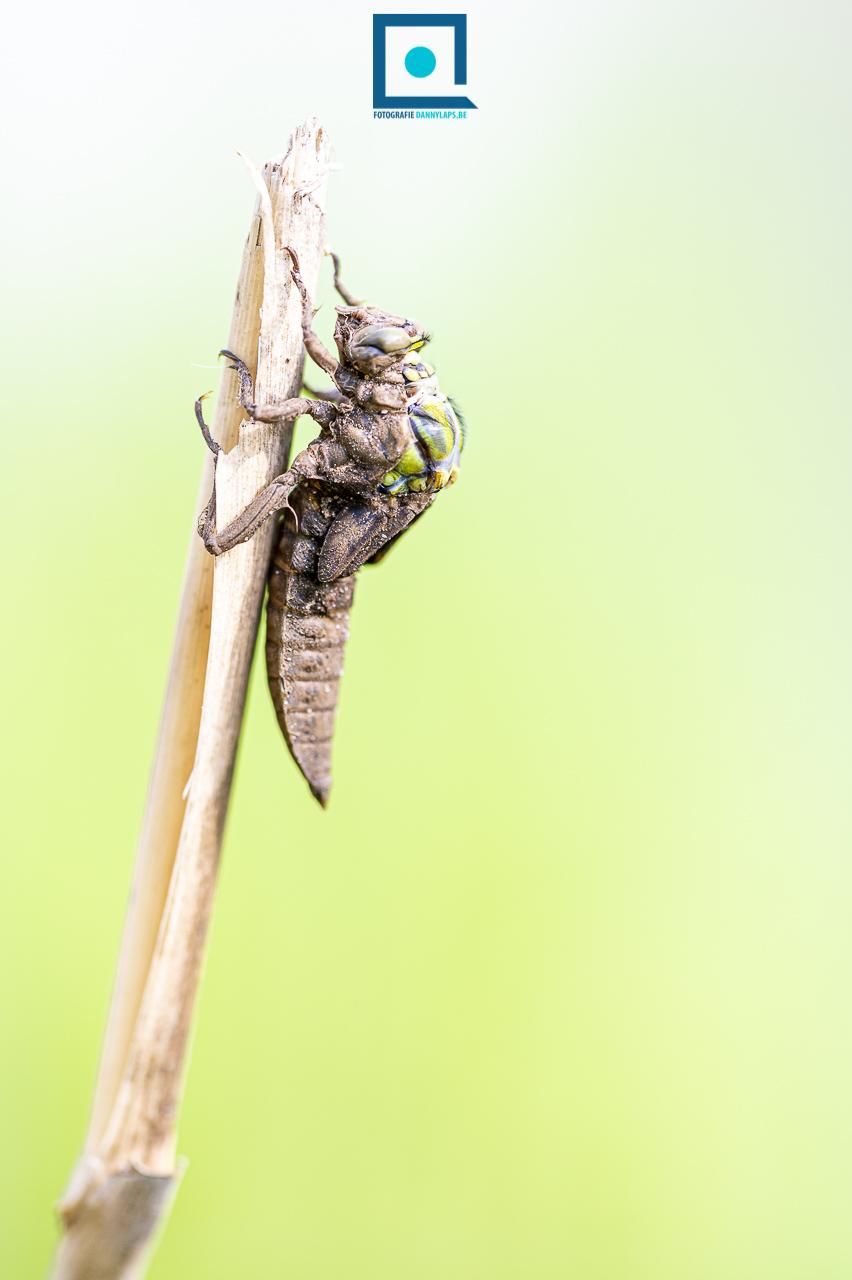 Metamorfose libel: beekrombout (Gomphus vulgatissimus)