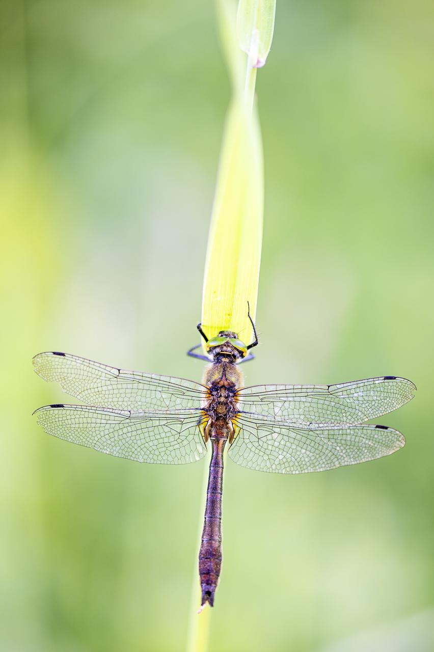 Smaragdlibel, Cordulia aenea