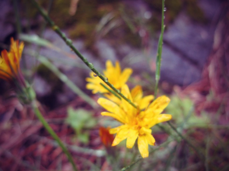 Yosemite Flower