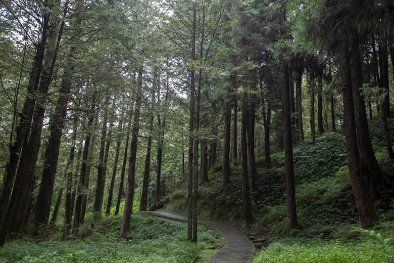 阿里山樹林