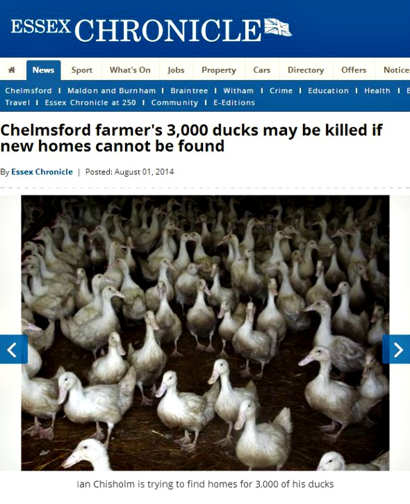 Essex Chronicle ducks