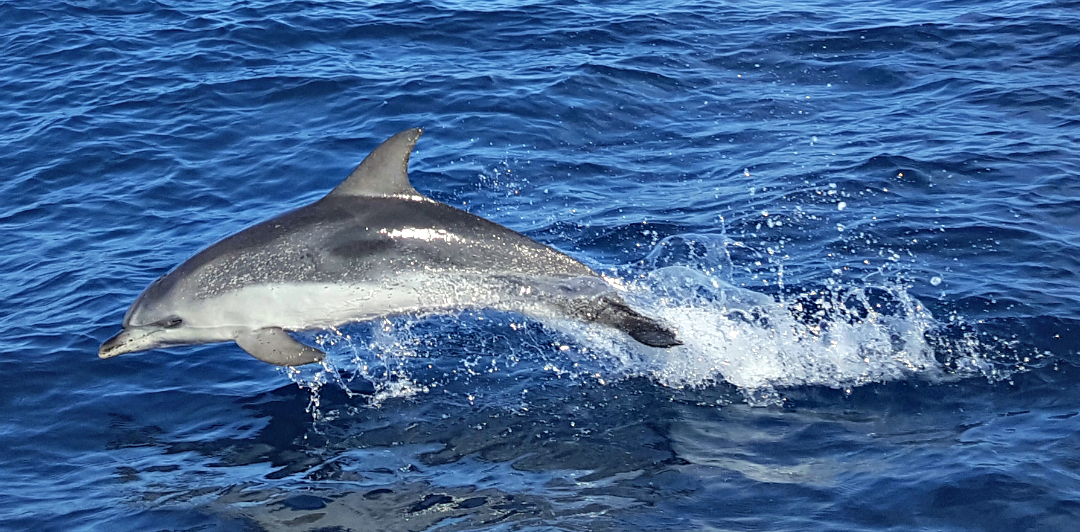 Dolphin leaping on the Flipper Uno trip