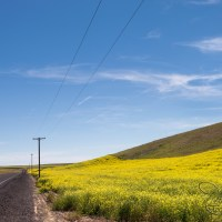 Palouse Canola Fields