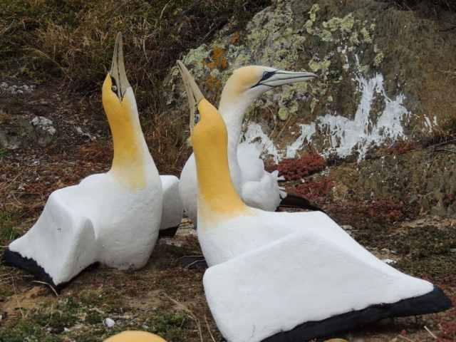 Nigel with his concrete decoy gannet
