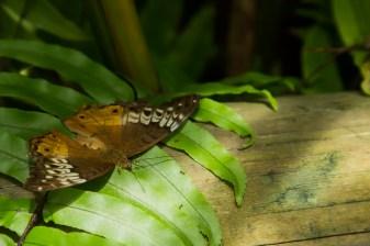 kuranda_birds_butterflies-12