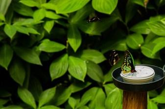 kuranda_birds_butterflies-9