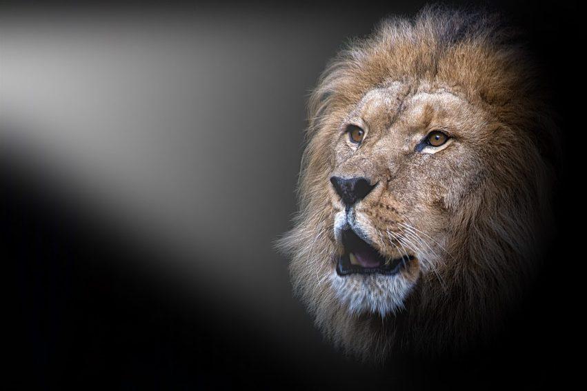 Løven - Aalborg Zoo