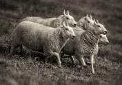 sheep-dogs_2012_4_bw