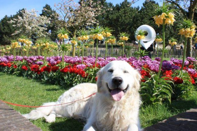 Hond moest natuurlijk ook even op de foto met de bloemen. Als we een euro kregen voor elk Aziatisch stelletje dat vroeg of ze een foto van hem mochten maken... Dit gebeurt sowieso wel vaker, maar nu moesten we van een vrouw uit Indonesië zelfs met haar en de hond op de foto...