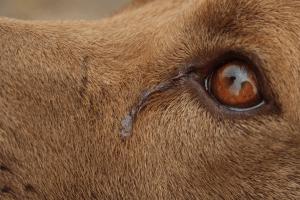 犬の涙やけ
