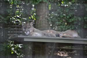 Puma   Zoo de Toronto   danslapoche.ca