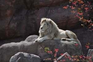 Lion   Zoo de Toronto   danslapoche.ca
